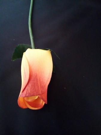 Yellow / Burgundy roos